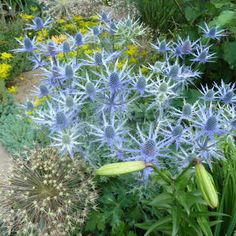 Edeldistel - Eryngium 'Big Blue'