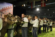 #fieragricolaevents #animalshows Swiss Brown Cow show (2012 edition)