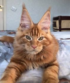 http://www.mainecoonguide.com/how-to-tell-if-a-kitten-is-a-maine-coon/