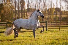 Friesian cross / Friesian Sport Horse. Warlander. Friesian x Andalusian.