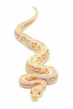 Lavender albino ball python