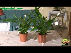 Growing a Peace Lily
