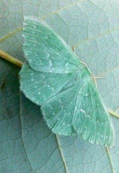 mint.quenalbertini: Mint butterfly