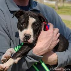 Leah Michelle is an adoptable Pit Bull Terrier Dog in Goodlettsville, TN. Sweet baby girl Leah Michelle is 15 weeks old 3/12/13 - She will melt your heart with her sweet loving personality. Dear Santa! #please