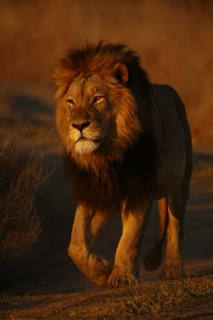 Lion #wildlife #safari #southafrica #nature #interfacttravel