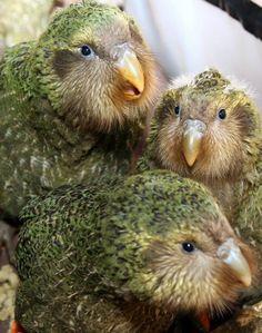 Adorable kakapo chicks!