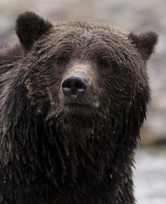 Check out this article from the Toronto Star: Canada's grizzly bears are on the run...