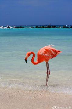 Aruba Flamingo