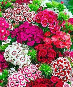 Flower Garden Dianthus Indian Carpet - Looking for a sweet cottage garden flower? Try growing Dianthus Barbatus - also known as Sweet William. The mounding habit is great in planters Flower Garden, Fast Growing Flowers, Dianthus Barbatus, Pink Flowers, Flower Meanings, Beautiful Flowers, Bonsai Flower, Growing Flowers, Flower Seeds