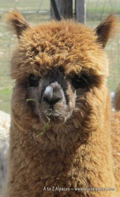 Cute Alpaca needing her haircut soon!