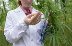 Cannabis testing can provide vital information about cannabis compound profiles, as well as determine the purity of products sold or consumed