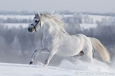 White Welsh horse runs gallop on the hill in winter
