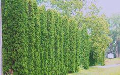 Degroot's Spire Arborvitae - Thuja occidentalis 'Degroots Spire'  https://www.gardenerdirect.com/gardening-tools/6/Arborvitae-Shrubs