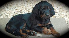 Gordon Setter Crossing: Gordon Setter Puppies At 6 Weeks Old