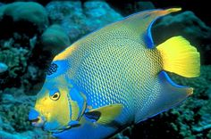 Queen angelfish : sub adult. Coloration varies greatly from juvenile through to adults in most fish species. But even more in the marine fishes.