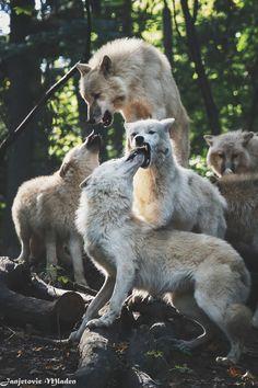 "ikwt: "" The Wolf Pack (Mladen Janjetovic) """