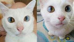 This cat will put a spell on you for sure. The kitty's multi-colored eyes look as if there was a universe hiding in them (and since pretty much everything revolves around cats these days, it wouldn't be a surprise). Two Different Colored Eyes, Multi Colored Eyes, Lots Of Cats, Here Kitty Kitty, Bored Panda, Beautiful Cats, I Love Cats, Funny Images, Mammals