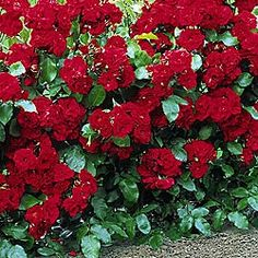 Freedom roses- great hedge for privacy