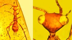 Scientists discover 'alien' insect in amber from 100 million years ago   Geology IN