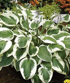 Broad hosta with bright white margins is a favorite of hummingbirds. Hosta Plants, Shade Perennials, Foliage Plants, Flowers Perennials, Veg Garden, Summer Garden, Garden Nook, Garden Plants, Gardens