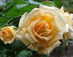 "Rose "" Royden "" , (-) , bred by Ron F. Cattermole (New Zealand, circa 1985) , floribunda"
