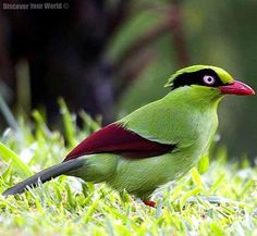 Javan green Magpie  Via Discover Your World -fb