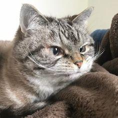 "22 Likes, 1 Comments - Loki (@loki_kitteh) on Instagram: ""What a cutie 💝#catstagram #catsagram #cat #cats #kitten #instacat  #catsofinstagram…"""