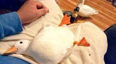 人の手で育てられたアヒルが、これ以上ないほどのなつき具合でかわいいです。 飼い主 - Yahoo!ニュース(ねとらぼ)