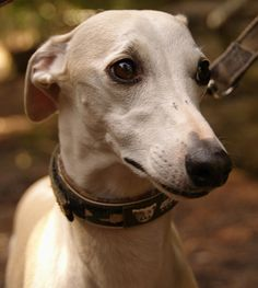 Whippets are beautiful!    Ribsy by WhippetGood.