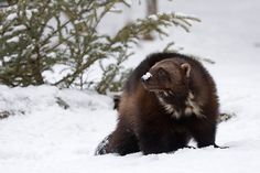 A wolverine in the northern Rockies, USA [Photo: Jörn Friederich/Alamy]