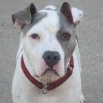 pumba12 Posted in:Dogs for Adoption,Male Dogs  This elfin-dog is Pumba! He came to us from an over-crowded rural shelter who wanted to see this guy get out and into a safe spot and good home. He's young and has a lot of energy, so daily walks or runs or even teaching him fetch would be great. He's very silly, social and would love to have someone work with him on basic training. He'll likely pay you back in tiny curly-Q tail wiggles.