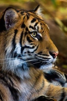 portrait of tiger | Sumatran tiger portrait by *KarlDawson on deviantART