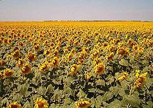 """North Dakota -Sunflowers in Traill County, North Dakota.  North Dakota has a great number of Native Americans, and in fact the word """"Dakota"""" is a corruption of a Sioux word meaning """"allies"""" or """"friends"""". The primary tribal groups originating in or around North Dakota, consist of the Lakota and the Dakotah (often lumped together as """"Sioux""""), the Blackfoot, the Cheyenne, the Chippewa, and the Mandan (now extinct)."""