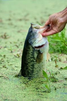 The best kind of fishing is Bass fishing
