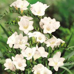 Freesia single white - 20 flower bulbs