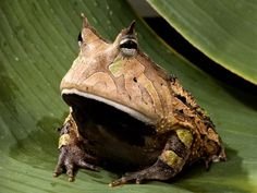 The Amazon Horned Frog:    Type:      Amphibian  Diet:      Carnivore  Size:      4 to 6 in (10 to 15 cm)  Weight:      Up to 1 lb (480 g)  Group name:      Army or colony  Did you know?      Some Amazon villagers wear high leather boots called botas escuerzas to repel attacks by the highly territorial Amazon horned frog.