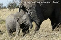 Baby elephant with mother photographed on safari in Kenya