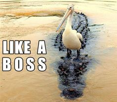 Funny pictures about Like a boss. Oh, and cool pics about Like a boss. Also, Like a boss photos. Funny Birds, Funny Cats, Funny Animals, Cute Animals, Crazy Animals, Bird Pictures, Animal Pictures, Random Pictures, Shih Tzu