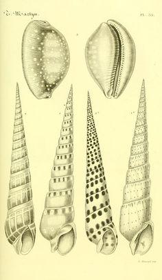 "https://flic.kr/p/e8usQC | n104_w1150 | Bibliothèque conchyliologique.. Paris,A. Franck,1845-1846.. <a href=""http://biodiversitylibrary.org/page/12109182"" rel=""nofollow"">biodiversitylibrary.org/page/12109182</a>"