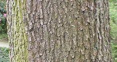 Quercus frainetto1