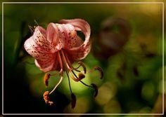 #elfoton14 #categoría #Flora En el Concurso de Fotografía Elfoton.es tenemos 9 categorías para que todo el mundo encuentre la suya. Participa hasta 15 de agosto en http://elfoton.com  Usuario: Comanegra (Catalunya) - Lilium martagon - Tomada en Olot, Girona. el 07/07/2013