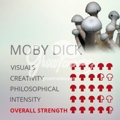 Magic Mushrooms Moby Dick is the newest variety in Psilocybe´s Cubenses world. Mushroom Cultivation, Mushroom Spores, Weed Recipes, Burger Recipes, Cannabis, Psilocybin Mushroom, Mushroom Grow Kit, Mushroom Varieties, Strange Magic