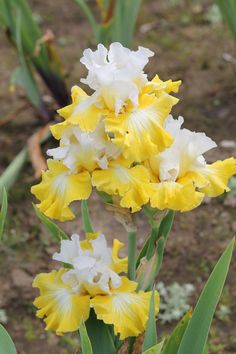 Tall Bearded Iris 'Joviality'