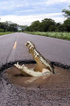 gator in hole of road Louisiana - LOL... This is a tad extreme but, still funny