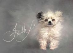 RIP sweet Faith her journey was to lead me to a rescue that I can help. #christmasspirit #lehighvalleyphotographer #pomeranian #pomeraniansofinstagram #centralohiopomrescue