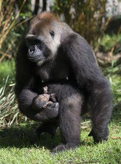 Karibuni! Welcome A Baby Gorilla To Disney's Animal Kingdom