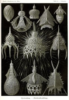 "Cyrtoidea - Ernst Haeckel Kunstformen der Natur ""Art Forms of Nature, 1904"
