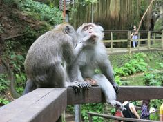 All My Friends In Bali Are Not Human My Friend, Friends, Bali, Posts, Medium, Travel, Animals, Animais, Messages