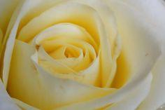 an ecru rose
