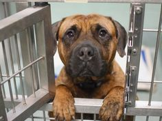 GONE 04/06/15 --- Brooklyn Center SEBASTIAN - A1031828 MALE, BR BRINDLE / BLACK, AM PIT BULL TER MIX, 4 yrs STRAY - STRAY WAIT, NO HOLD Reason STRAY Intake condition UNSPECIFIE Intake Date 03/31/2015, https://www.facebook.com/Urgentdeathrowdogs/photos/pb.152876678058553.-2207520000.1428102456./986273714718841/?type=3&theater